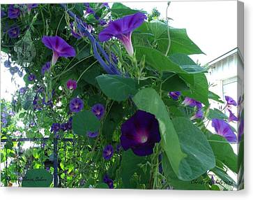 Morning Glories Galore Canvas Print