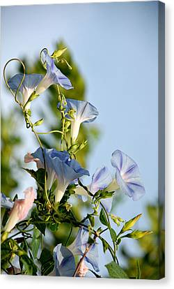 Morning Glories Canvas Print by Susan D Moody