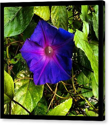 Morning Glory  Canvas Print by Chasity Johnson