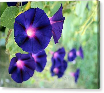 Morning Glory Climbing Canvas Print