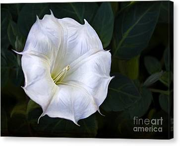 Morning Glory Canvas Print by Elena Nosyreva