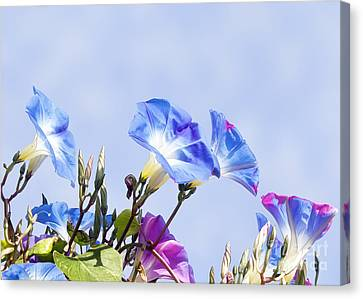 Morning Glory Flowers Canvas Print