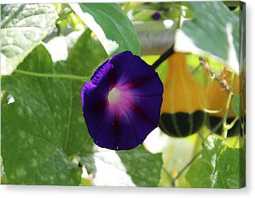 Canvas Print featuring the photograph Morning Glory by John Mathews