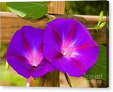 Magnoliopsida Canvas Print - Morning Glory by Millard H. Sharp