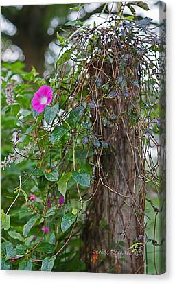 Morning Glory On The Fence Canvas Print by Denise Romano