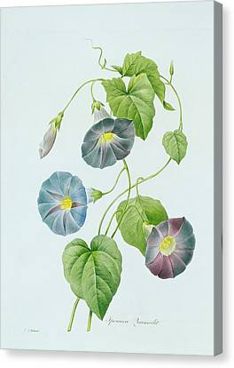 Morning Glory Canvas Print by Pierre Joseph Redoute