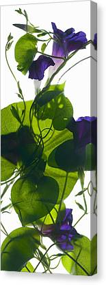 Morning Glory Rising Canvas Print by Julia McLemore