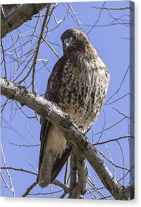Morning Hawk Canvas Print