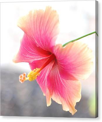 Morning Hibiscus In Gentle Light - Square Macro Canvas Print