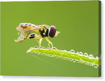 Morning Hoverfly Canvas Print by Mircea Costina Photography