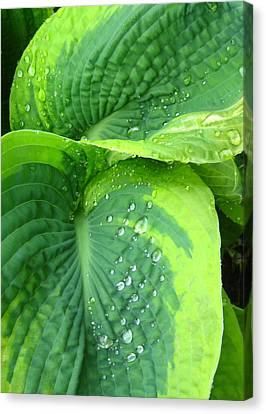Morning Rain Hosta Canvas Print