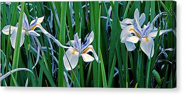 Morning Smile - Wild African Iris Canvas Print by Donna Proctor