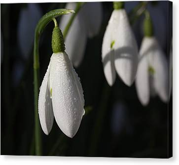 Morning Snowdrops Canvas Print