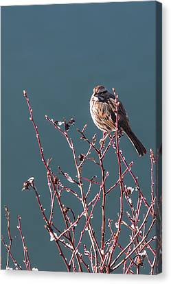 Morning Sparrow Canvas Print