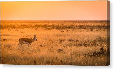 Orange Canvas Print - Morning Stroll - Springbok Antelope Photograph by Duane Miller
