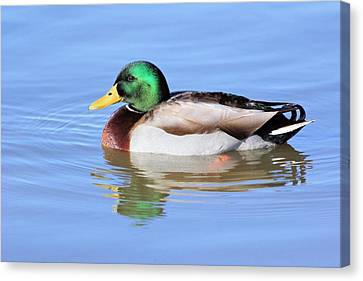Morning Swim Of The Mallard Canvas Print by Elizabeth Budd