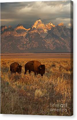 Bison Canvas Print - Morning Travels In Grand Teton by Sandra Bronstein