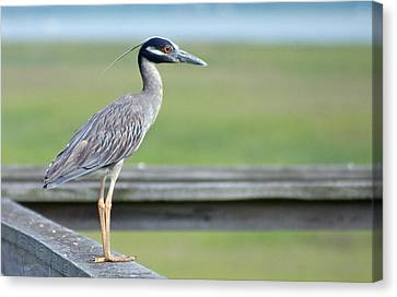 Morning Treasure Night Heron Canvas Print