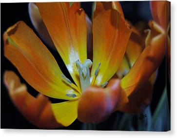 Pestal Canvas Print - Morning Tulip by Vallee Johnson