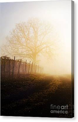 Morning Vineyard Canvas Print by Shannon Beck-Coatney