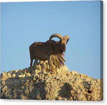 Moroccan Barbary Sheep Canvas Print by Noreen HaCohen