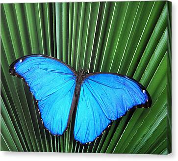 Morpho Butterfly On Fan Palm Canvas Print by Robert Jensen
