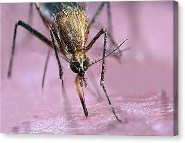 Eating Entomology Canvas Print - Mosquito Biting Hand by Frank Fox