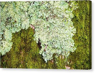 Green Lichen Canvas Print - Moss And Lichen On A Tree At Clappersgate by Ashley Cooper