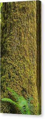 Tree Fern Canvas Print - Moss Covered Tree Olympic National Park by Steve Gadomski