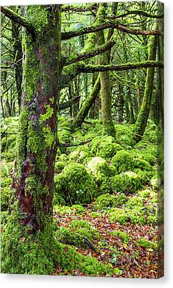 Moss Covered Trees In Killarney Canvas Print