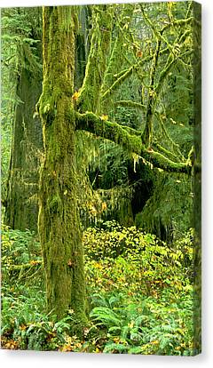 Canvas Print featuring the photograph Moss Draped Big Leaf Maple California by Dave Welling