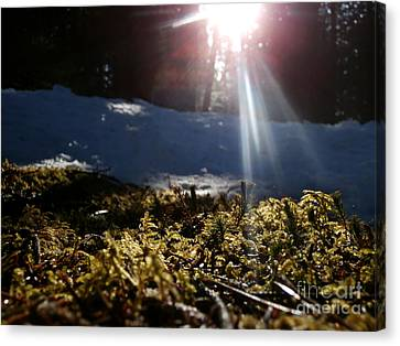 Moss In The Sunlight Canvas Print by Steven Valkenberg