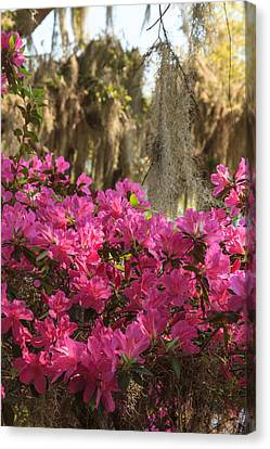 Canvas Print featuring the photograph Moss Over Azaleas by Patricia Schaefer