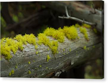 National Parks Canvas Print - Moss by Sebastian Musial