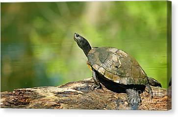 Mossy Turtle Canvas Print