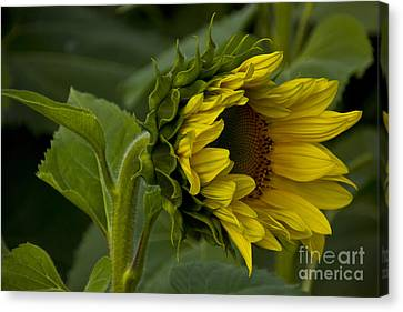 Mostly Open Sunflower Canvas Print