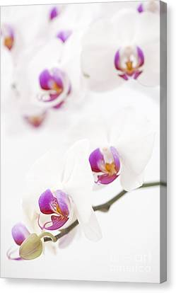 Close Focus Floral Canvas Print - Moth Orchid by Anne Gilbert