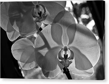 Canvas Print featuring the photograph Moth Orchid Backlit by Ron White