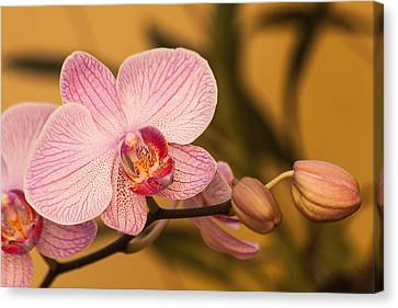 Moth Orchid Canvas Print by Ed Gleichman