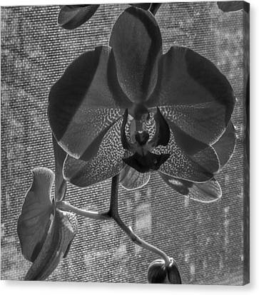 Canvas Print featuring the photograph Moth Orchid In Window by Ron White