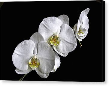 Moth Orchid Trio Canvas Print by Ron White