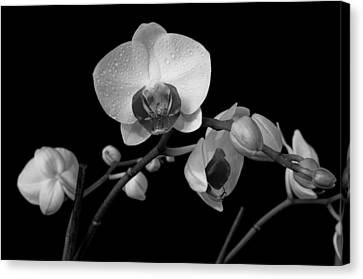 Canvas Print featuring the photograph Moth Orchids by Ron White