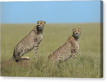 Cheetah Canvas Print - Mother & Son by Marco Pozzi