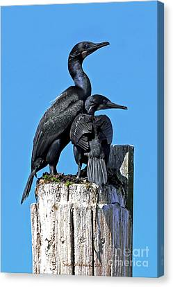 Mother And Baby Brandt's Cormorants Canvas Print