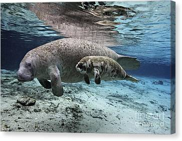 mother and baby Florida Manatees together in Florida spring Canvas Print