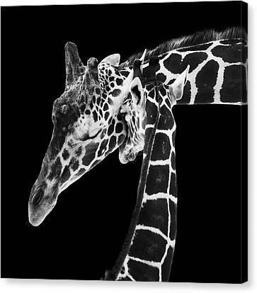 Mother And Baby Giraffe Canvas Print by Adam Romanowicz