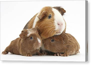 Mother And Baby Guinea Pigs Canvas Print
