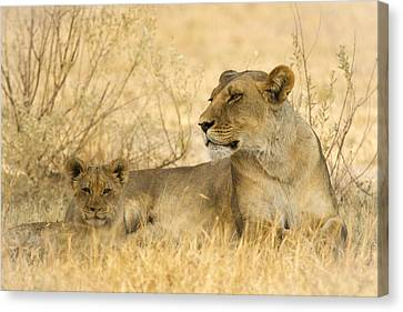 Mother And Cub Canvas Print by Alison Buttigieg