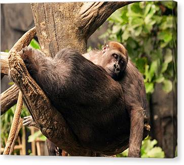 Mother And Youg Gorilla Sleeping In A Tree Canvas Print by Chris Flees