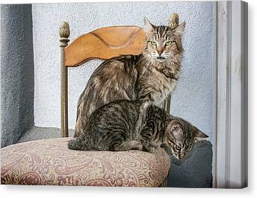 Anticipation Canvas Print - Mother Cat And Kitten On Chair by Zandria Muench Beraldo